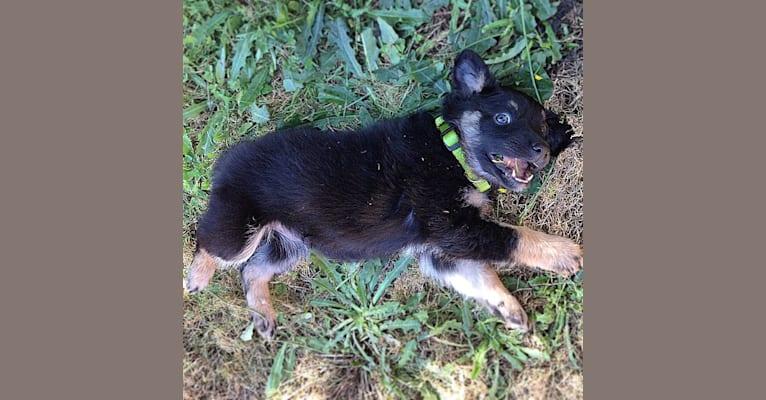 Photo of Smokey Bear, a Border Collie, Australian Shepherd, and Mixed mix in Oregon, USA