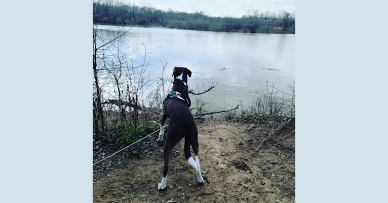 Photo of Hershey, a Chihuahua, Boxer, Dachshund, and Mixed mix in Fredericktown, MO, USA