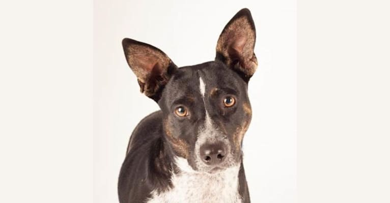 Photo of Tulip, a Siberian Husky, Australian Cattle Dog, and Staffordshire Terrier mix in Merced, CA, USA