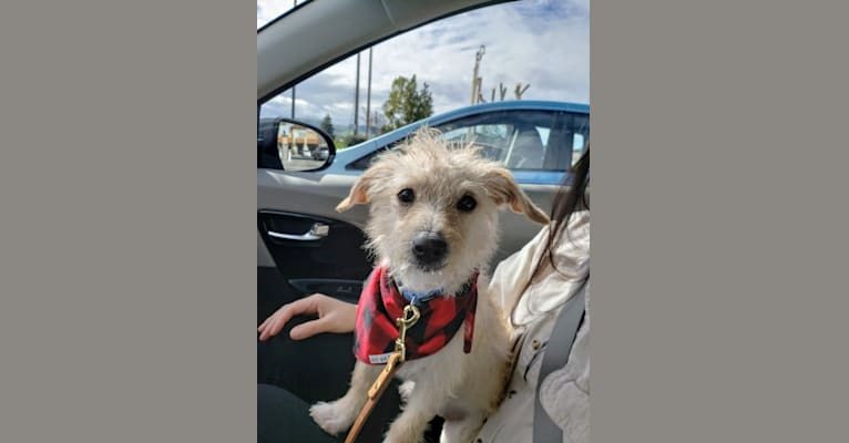 Photo of Laka, a Chihuahua, Poodle (Small), and Mixed mix in Stockton, California, USA
