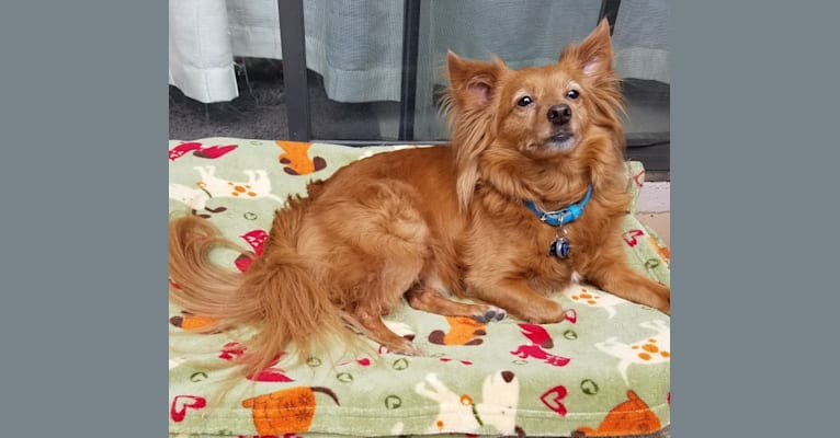 Photo of Dasher, a Chihuahua, Pomeranian, Miniature Pinscher, and Mixed mix in Scottsdale, Arizona, USA