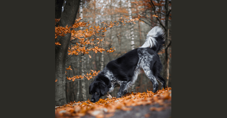 Photo of Molly, a Stabyhoun  in Rinsumageest, Nederland