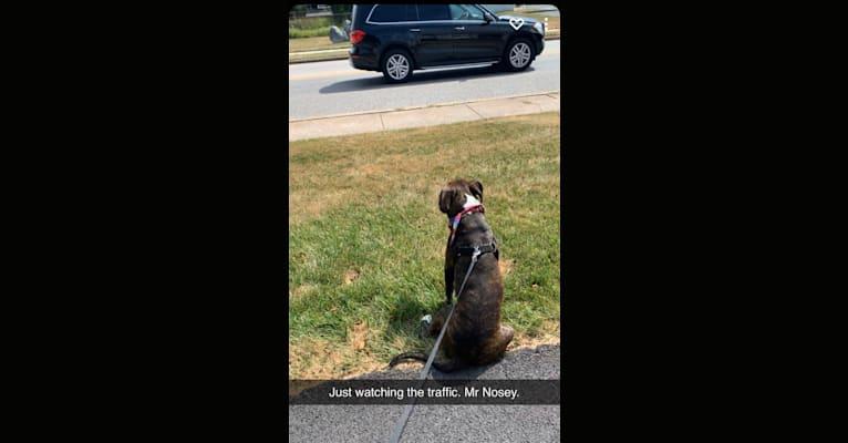 Photo of Chidi Buddy, an American Bully  in Mechanicsburg, Pennsylvania, USA
