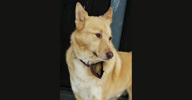Photo of Damon, a Samoyed, German Shepherd Dog, Siberian Husky, Miniature Pinscher, and Mixed mix in Israel
