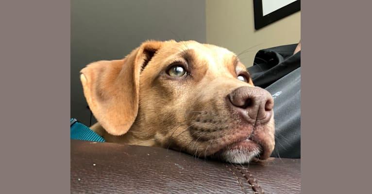Photo of Lola, a Labrador Retriever, Boxer, Doberman Pinscher, Catahoula Leopard Dog, and Mixed mix