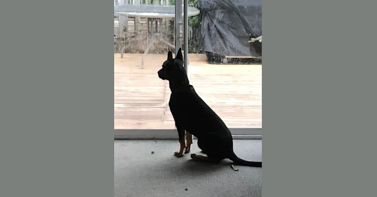 Photo of Wyatt, a German Shepherd Dog, American Pit Bull Terrier, and Mixed mix
