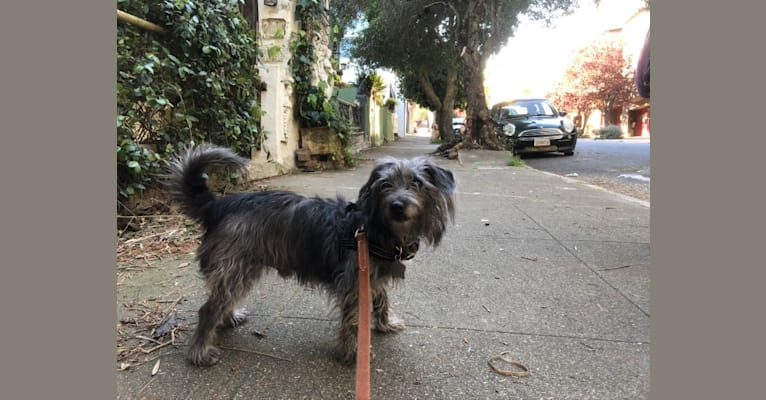 Photo of Dagobert, a Chihuahua, Poodle (Small), Russell-type Terrier, and Coton de Tulear mix in Lunel, Occitanie, France