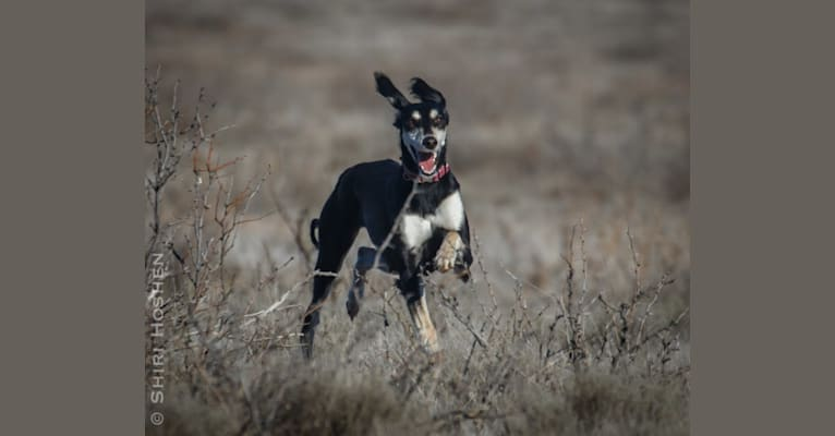 Photo of Nova, a Saluki  in Wyoming, USA
