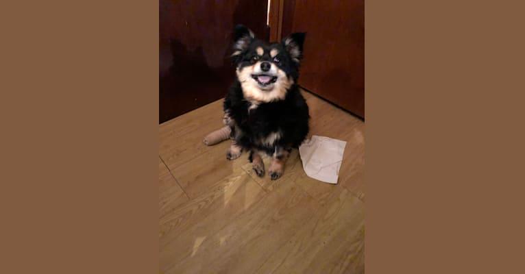 Photo of Titus, a Pomeranian and Rat Terrier mix in Cherokee, North Carolina, USA