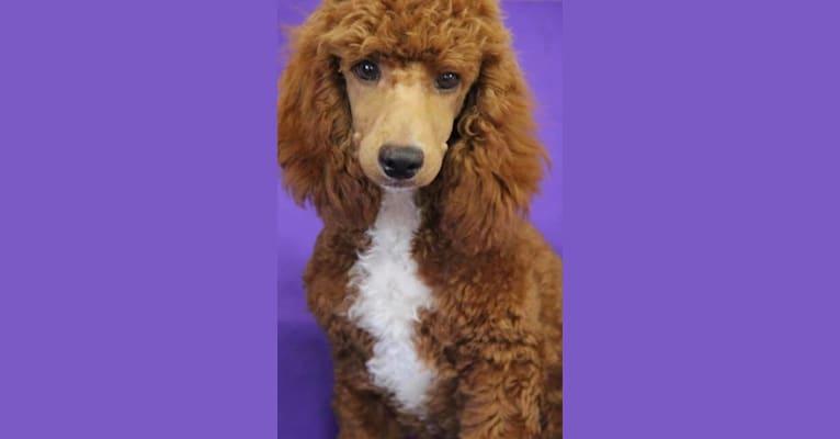 Photo of Rugar, a Poodle (Small)  in Alton, IA, USA