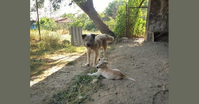 Photo of Muppet, a West Asian Village Dog  in Syunik Province, Armenia