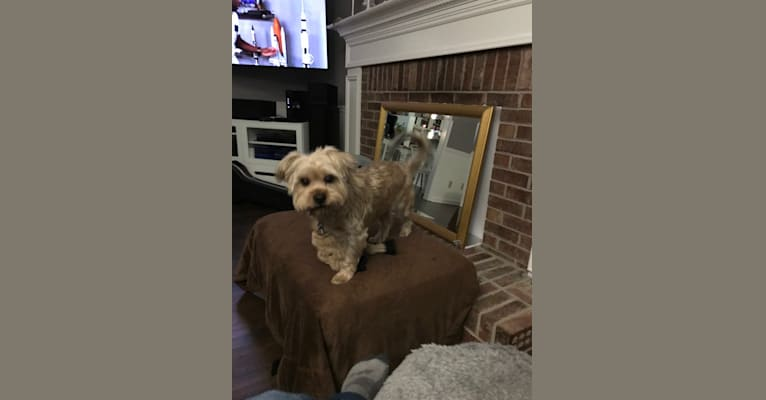 Photo of Lucky, a Yorkshire Terrier, Shih Tzu, and Silky Terrier mix in Fayetteville, Georgia, USA