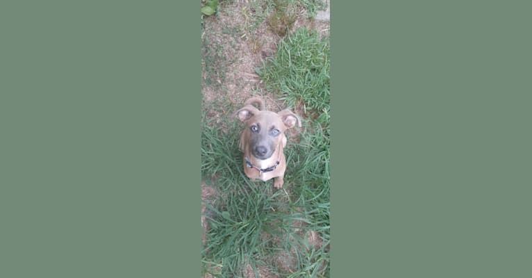 Photo of Stryker, an American Pit Bull Terrier, American Staffordshire Terrier, Chihuahua, and Mixed mix in South Carolina, USA