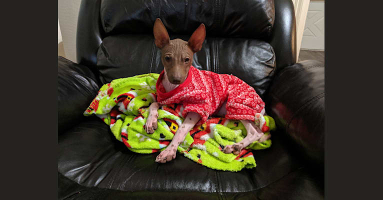 Photo of Pixel, an American Hairless Terrier