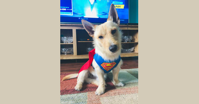 Photo of Max, a West Highland White Terrier and Cairn Terrier mix in Port Maitland, Nova Scotia, Canada