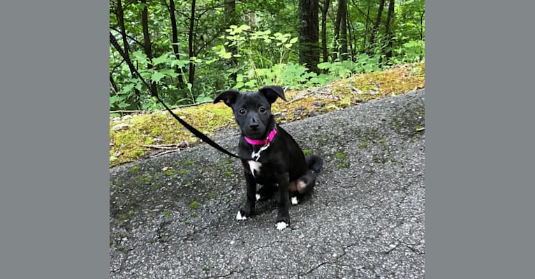 Photo of Phoebe, a Pug, Chihuahua, Australian Shepherd, Russell-type Terrier, American Eskimo Dog, and Mixed mix in Virginia, USA