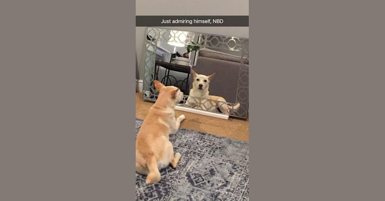 Photo of Koji, a Miniature Schnauzer, German Shepherd Dog, Chow Chow, Siberian Husky, and Labrador Retriever mix in Georgia, USA
