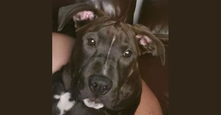 Photo of Doozie, an American Pit Bull Terrier, American Bulldog, Chow Chow, and American Staffordshire Terrier mix