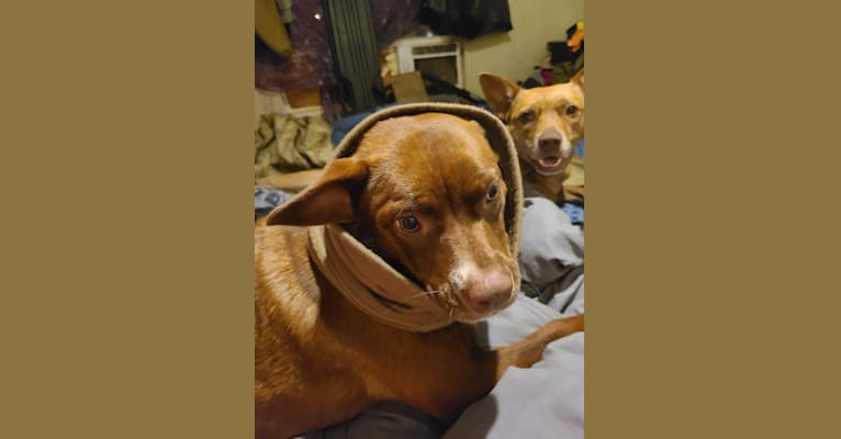Photo of Cassidy, a Boston Terrier, Labrador Retriever, and Australian Shepherd mix in Hawkins, Texas, USA