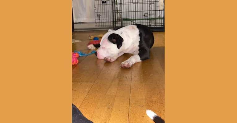 Photo of PANDA LEWIS CANNADY, an American Bully, American Pit Bull Terrier, and American Staffordshire Terrier mix in Stockton, CA, USA