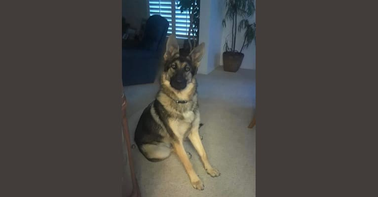 Photo of Zeus, a German Shepherd Dog and Chow Chow mix in Riverside, California, USA