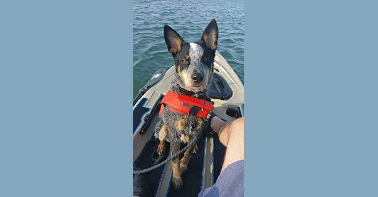 Photo of Smoke, an Australian Cattle Dog  in Giddings, Texas, USA