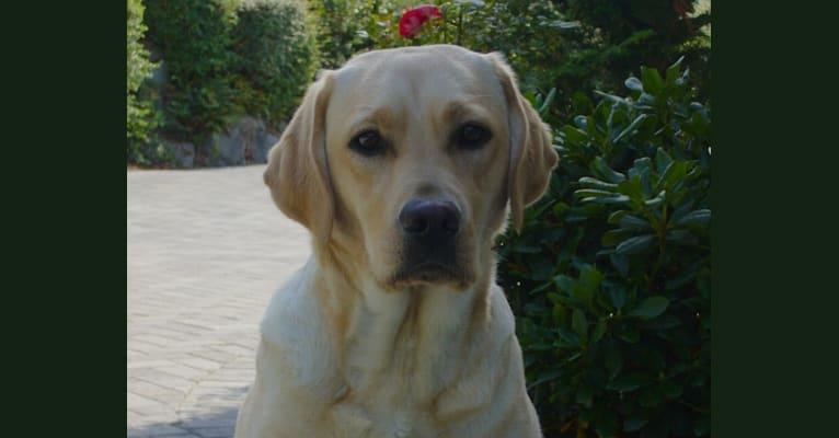 Photo of Abby Gail, a Labrador Retriever  in Woodinville, Washington, USA