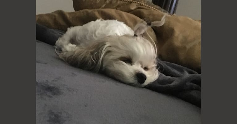 Photo of Tootsie, a Shih Tzu, Silky Terrier, and Bichon Frise mix in Westchester, NY, USA