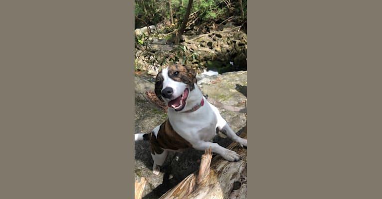 Photo of BB, a Pembroke Welsh Corgi, American Pit Bull Terrier, Beagle, and French Bulldog mix in Denver, Colorado, USA
