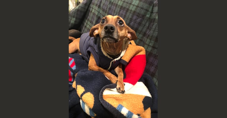 Photo of Remy, a Chihuahua, Miniature Pinscher, Pomeranian, and Mixed mix in Sunnyvale, California, USA