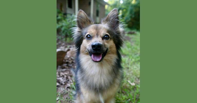 Photo of Viva, an American Eskimo Dog, Miniature Pinscher, and Boston Terrier mix in Athens, Georgia, USA
