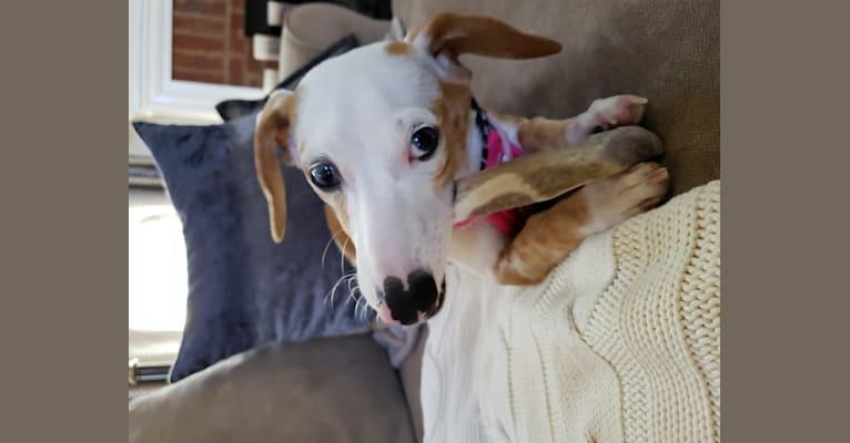Photo of Marlee Sheets, a Dachshund and Chihuahua mix in South Carolina, USA