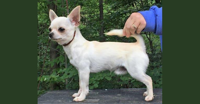 Photo of Camo, a Chihuahua
