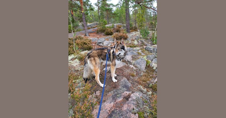 Photo of Viljo, a Czechoslovakian Vlcak and Siberian Husky mix in Finland