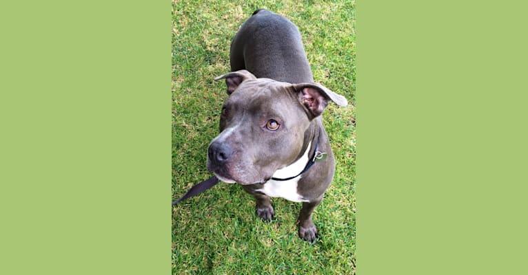 Photo of Bentley, an American Staffordshire Terrier  in Alameda, California, USA