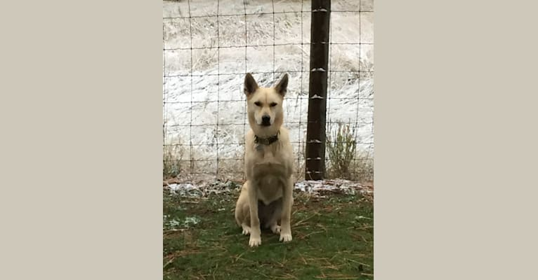 Photo of Ayla, a Siberian Husky, Labrador Retriever, German Shepherd Dog, and Mixed mix in Hamilton, Montana, USA