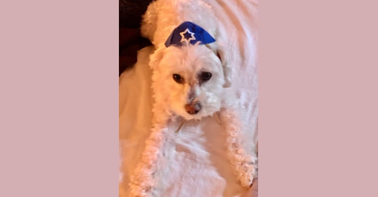 Photo of Prince, a Poodle (Small) and Maltese mix