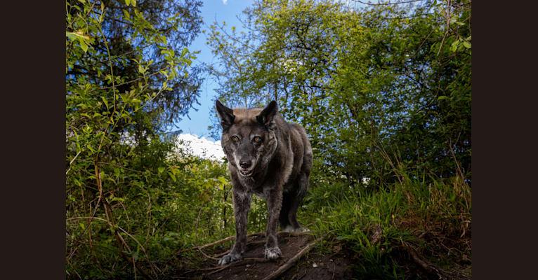 Photo of Tanis, an European Village Dog  in Deutschland