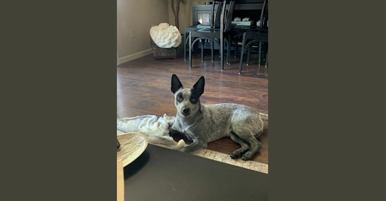 Photo of Saint, an Australian Cattle Dog, Border Collie, American Pit Bull Terrier, and Mixed mix in Yuba City, California, USA
