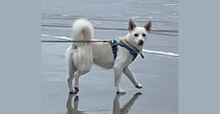 Photo of Akira, a Japanese and Korean Village Dog  in South Korea