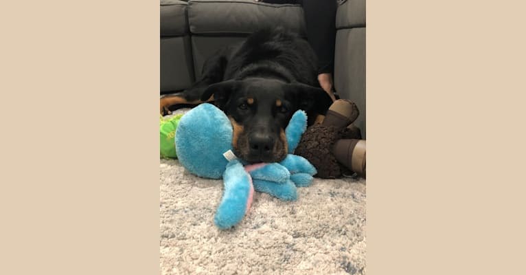 Photo of Archer, a Beauceron  in Payette, ID, USA
