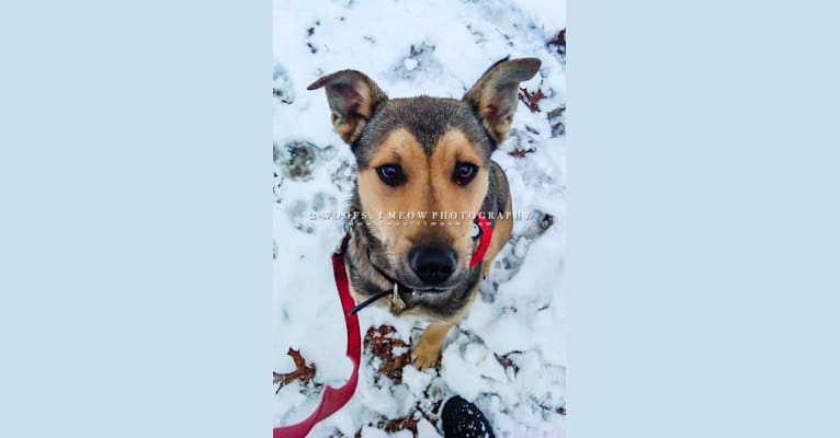 Photo of Rooney, an American Pit Bull Terrier, Siberian Husky, Chow Chow, Shetland Sheepdog, and Mixed mix in North Carolina, USA
