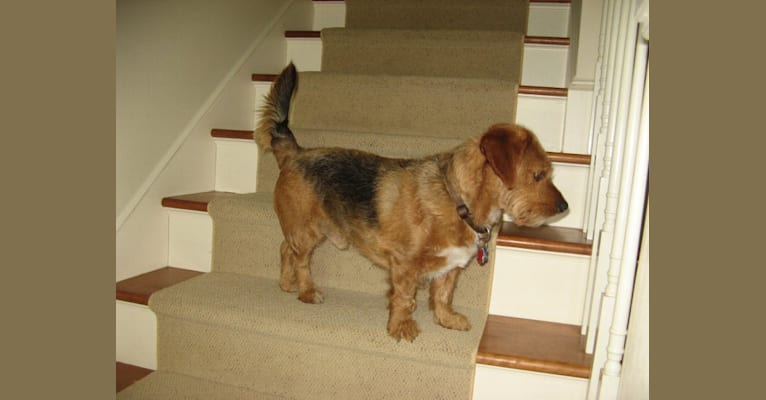 Photo of George, a Yorkshire Terrier, Australian Shepherd, and Poodle (Small) mix