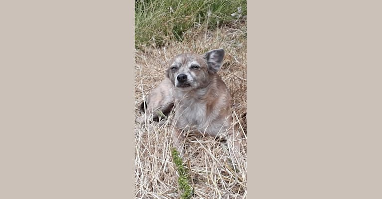 Photo of Coco, a Pomchi  in Los Angeles, California, USA