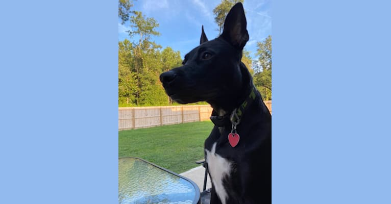 Photo of Ringo, an American Pit Bull Terrier, German Shepherd Dog, and American Staffordshire Terrier mix in North Carolina, USA