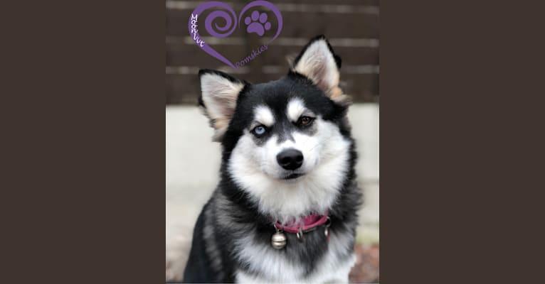 Photo of Asami, an American Eskimo Dog, Siberian Husky, and Pomeranian mix