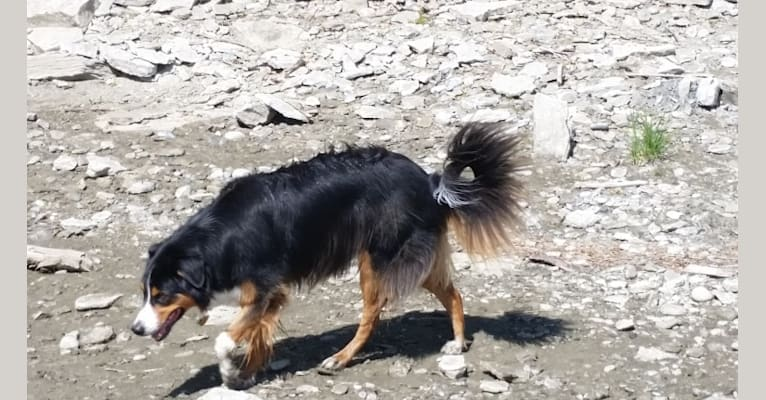 Photo of Tucker, an English Shepherd  in Nebraska, USA