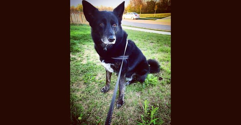 Photo of Diamond, an Australian Cattle Dog, German Shepherd Dog, Australian Shepherd, and Norwegian Elkhound mix in Columbus, Ohio, USA
