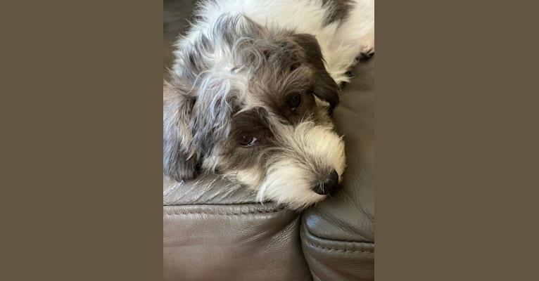 Photo of Augie, a Poodle (Small), Yorkshire Terrier, and Biewer Terrier mix in Anna, Texas, USA
