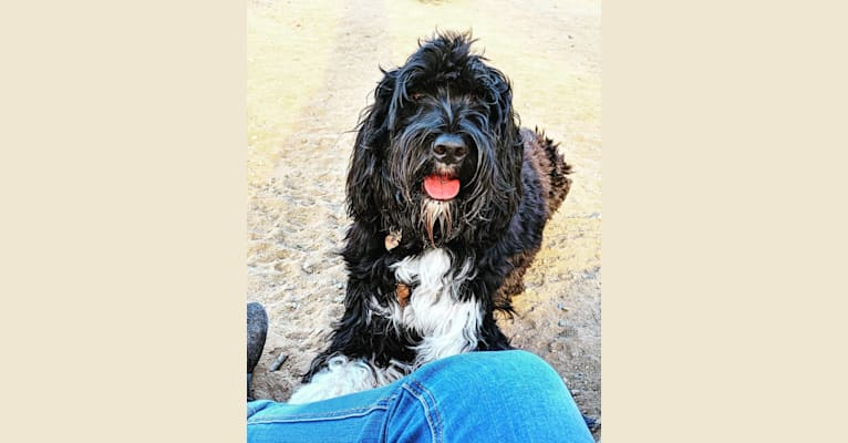 Photo of Moo Moo, a Portuguese Water Dog  in Los Angeles, California, USA